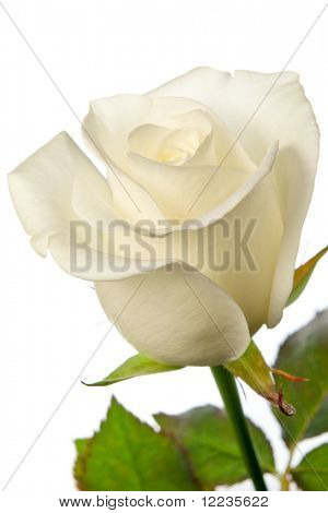 white rose isolated with clipping path
