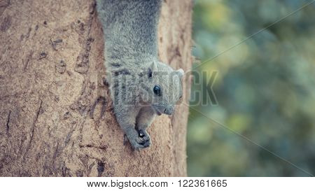 Squirrel is member of the family Sciuridae Squirrel holding onto a tree branch. process in vintage style