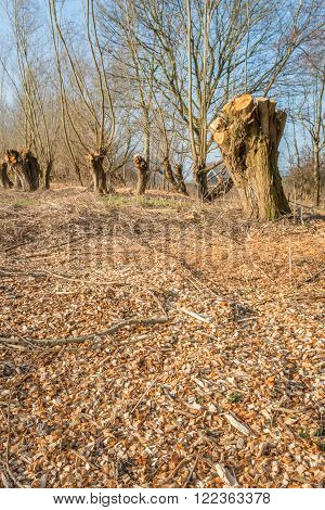 In the foreground scattered woodchips obtained from the shredded prunings from the pollard willows in the background. It is a sunny day in the end of the winter season.