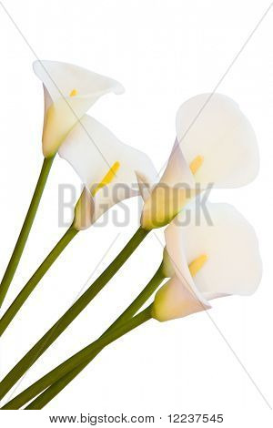 calla lilies isolated with clipping path