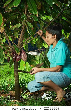 Farmer Pick Cacao Pods