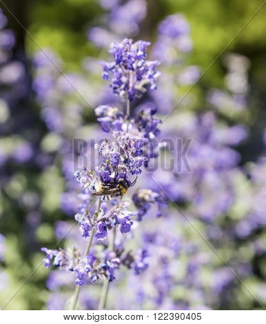 Bee Flies From Flower To Flower
