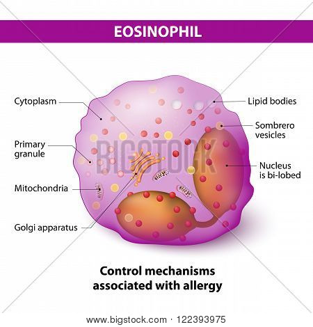eosinophil granulocytes. type of White Blood Cell that responsible for combating multicellular parasites and certain infections in vertebrates they also control mechanisms associated with allergy and asthma. Characteristics and structure of lymphocytes