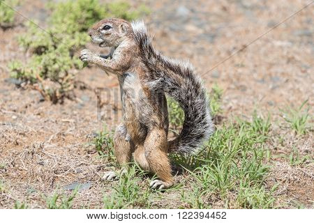 A ground squirrel, Xerus inauris, standing upright in the Mountain Zebra National Park near Cradock in South Africa