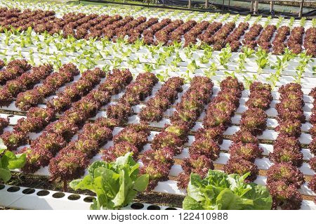 Organic vegetables hydro phonic Plantation are grown on the mountains