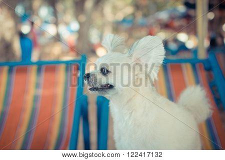 The cute dog travel at beach on the beach chair