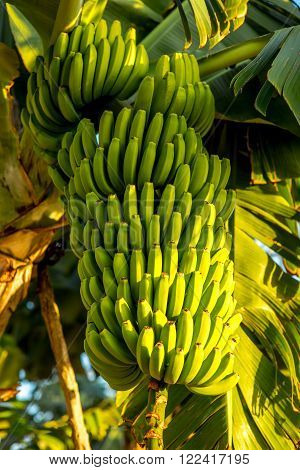 Green banana bunch on the banana plantation on Canarian island