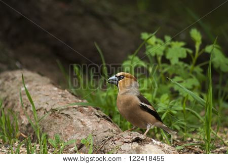 a male hawfinch standing on a tree root