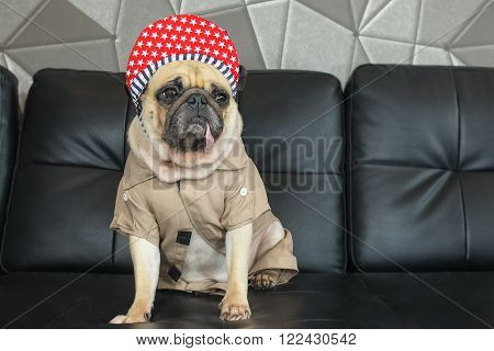 Close-up cute dog pug bored with Hip Hop hat on black sofa in room look out side , tongue pacifier mouth with gray shirt ( like rapper )