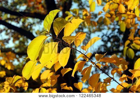 Image of the yellow maple leaf on a branch