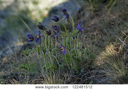 Common pasque flower (pulsatilla vulgaris), earliest flowers with hair in springtime