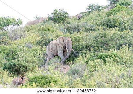 An elephant walking between shrubs after sunset in a game park in South Africa