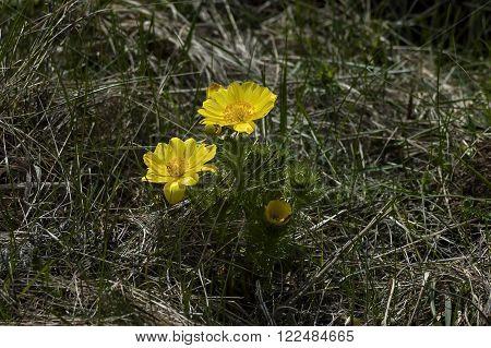 Beautiful yellow flowers of Adonis vernalis, Murgash mountain, Bulgaria ** Note: Shallow depth of field