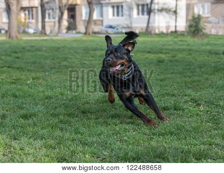 Rottweiler Dog running on the grass at park