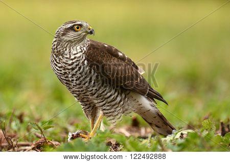 Female Eurasian Sparrowhawk (Accipiter nisus) in natural habitat
