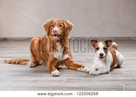 Dog Jack Russell Terrier And Dog Nova Scotia Duck Tolling Retriever