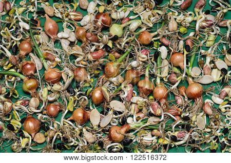 Many sprouted seeds: onion, bean, sunflower and other crops on a green background.