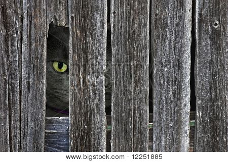 Tom cat peeking through an opening in the old barn siding. poster