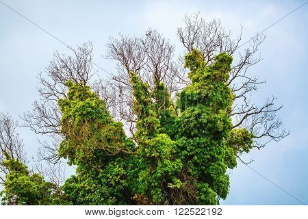 Close-up of a tree covered with lush green vegetation. Old dry tree densely braided green bindweed with lush foliage. poster