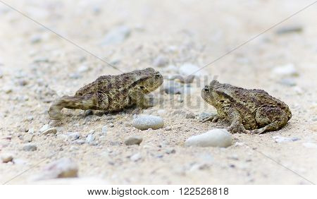Two toads on gravel on sunny day
