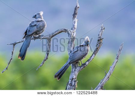 Specie Corythaixoides concolor family of Musophagidae, grey go away bird in South Africa