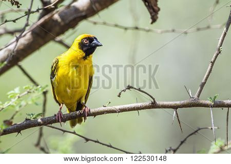 Specie Ploceus velatus family of Ploceidae, southern masked weaver or African masked weaver nesting in South Africa