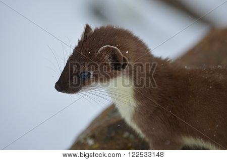 A small, curious weasel looks into the distance