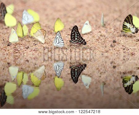 Group Of  Butterfly With Water Reflection