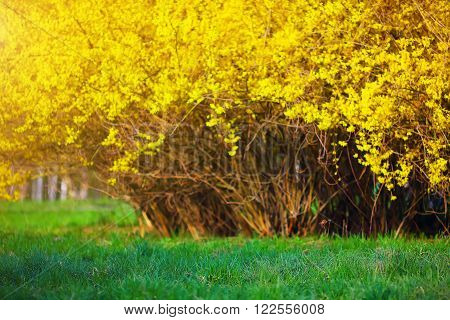 Yellow Forsythia bush and green grassland in spring season. Yellow flowers of forsythia. Blurred background