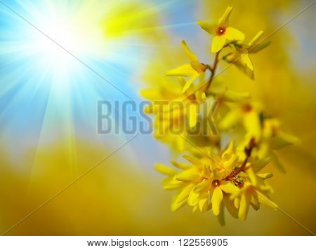 Detail of yellow forsythia blossom. Shallow depth of field. Sunlight
