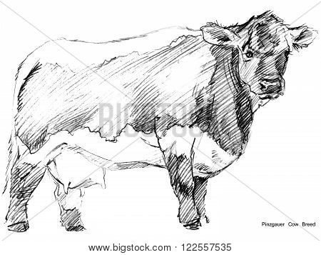 Cow. Cow sketch. Dairy cow pencil sketch. Animal farm. Milking Cow Breed