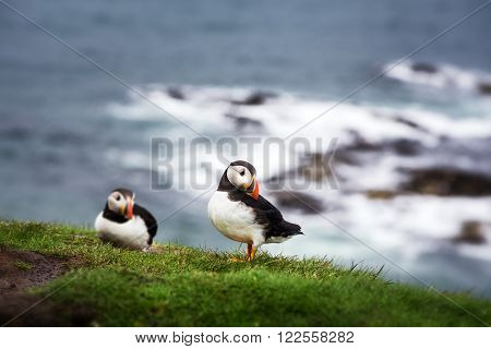 A pair of puffins on the cliffs of Treshnish Isle, Inner Hebrides, Scotland. Intentional shallow depth of field.