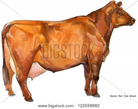 Cow. Cow watercolor illustration. Milking Cow Breed.