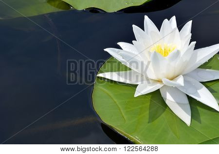 White Lily in the pond on a bright sunny day