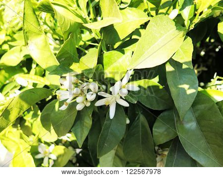 Orange Tree Blossoms