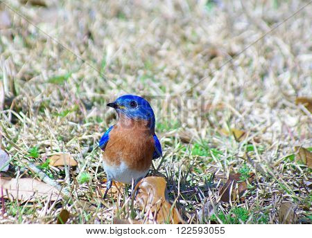 Eastern Bluebird searching for nest building materials.