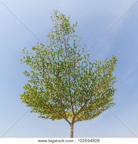 Green tree with blue sky and clouds