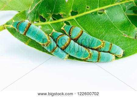 Final instar caterpillar of banded swallowtail butterfly on leaf ( Papilio liomedon )