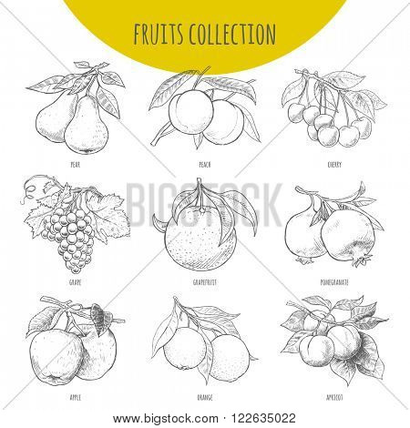 Fruits set vector freehand pencil drawn. Illustration of fruits bunches on branches with leaves. Pear, apple, cherry. grape, orange, pomegranate, apricot, grapefruit, peach.