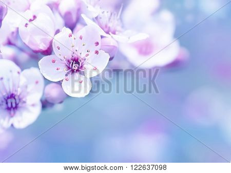 Beautiful cherry blossom border over blur background, gentle dreamy white flowers on tree branches, spring time season