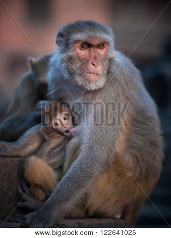 Mother Rhesus Macaque Nursing Its Baby