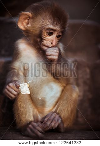 Portrait Of Rhesus Macaque Baby Sitting