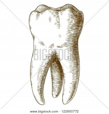 Vector engraving illustration of highly detailed hand drawn human tooth isolated on white background