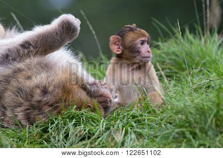 Baby Barbary Macaque (Macaca Sylvanus) in long grass next to Father