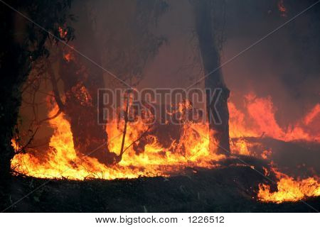 Eucalyptus Trees On Fire