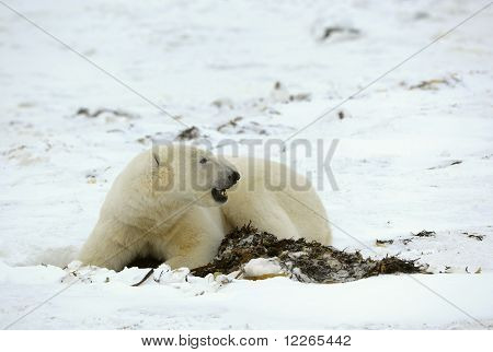 Polar bear and seaweed. The polar bear has dug out from under snow of an alga and lies near to them. poster