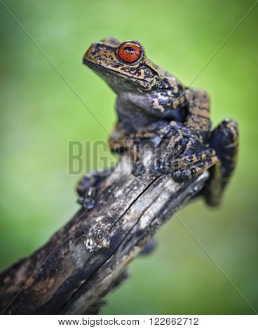 Tropical tree frog in Amazon jungle. An exotic treefrog in Amazonian rain forest. Macro of a beautiful rainforest animal