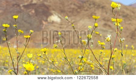The yellow desert flowers covered the desert at mile 36 along Badwater road inside Death Valley National Park