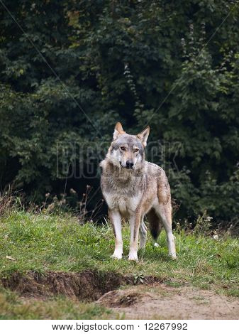 Wolf of serbia