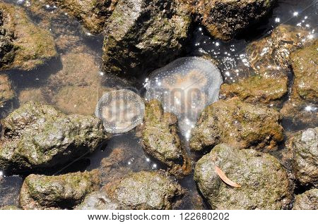 Two jellyfish trapped in shallow waters surrounded by river rocks in the Swan River in Perth, Western Australia.